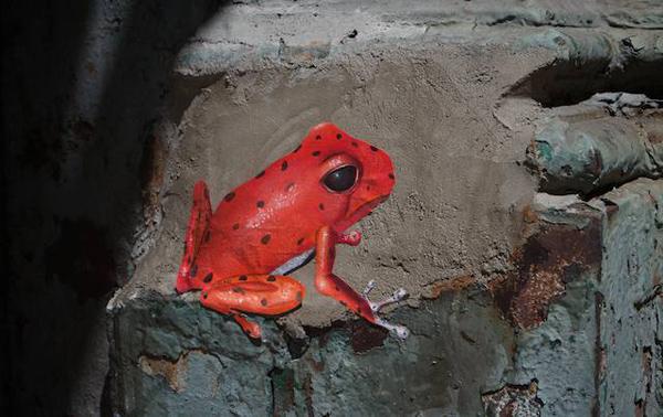Sohoredfrog